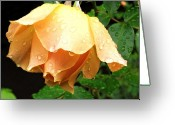 Cream Roses Greeting Cards - After the rain Greeting Card by Cathie Tyler