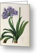 Violet Purple Greeting Cards - Agapanthus umbrellatus Greeting Card by Pierre Redoute