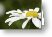 Spider Flower Greeting Cards - Aggresive Spider on a Daisy Greeting Card by Andrew Campbell