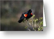 Red Wing Blackbird Greeting Cards - Aint I Purdy Greeting Card by Skip Willits