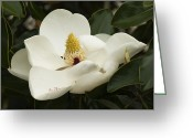 Magnolia Grandiflora Greeting Cards - Alabamas Magnificent Magnolia grandiflora Greeting Card by Kathy Clark