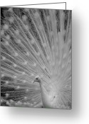 Albino Peacock Greeting Cards - Albino Peacock in Black and White Greeting Card by Joseph G Holland