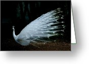 Albino Peacock Greeting Cards - Albino Peacock Greeting Card by Yvonne Ayoub