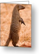 Kenya Greeting Cards - Alert Mongoose Greeting Card by Adam Romanowicz