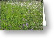 Canada Greeting Cards - Alfalfa and Daisies Greeting Card by Jim Sauchyn