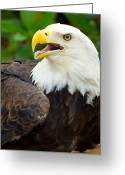 Eagle Prints Greeting Cards - All American Greeting Card by Wild Expressions Photography