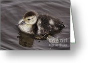 Duckling Greeting Cards - All By Myself Greeting Card by Deborah Benoit