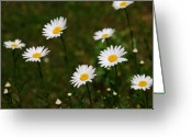 Asteraceae Greeting Cards - All the Daisies Greeting Card by Susanne Van Hulst