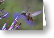 Bromeliad Greeting Cards - Allens Hummingbird Greeting Card by Mike Herdering