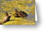 Animalia Greeting Cards - Alligator Ambush Greeting Card by Al Powell Photography USA