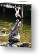 Feed Greeting Cards - Alligator Feeding Greeting Card by Garry Gay
