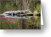 Animal Themes Greeting Cards - Alligator Sunbathing Greeting Card by Daniela Duncan