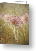 Grass Greeting Cards - Allium Purple Sensation Greeting Card by Jacky Parker Photography