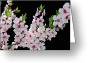 Beautiful Flowering Trees Greeting Cards - Almond Blossom 0979 Greeting Card by Michael Peychich