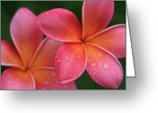 Blossoms Greeting Cards - Aloha Hawaii Kalama O Nei Pink Tropical Plumeria Greeting Card by Sharon Mau