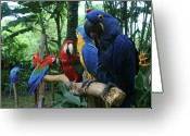 Tropical Gardens Greeting Cards - Aloha kaua Aloha mai no Aloha aku Beautiful Macaw Greeting Card by Sharon Mau