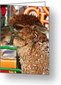 Feeding Greeting Cards - Alpaca Greeting Card by Steve Harrington