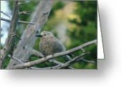 Perched Birds Greeting Cards - Alpine Camp Robber Greeting Card by Jeff  Swan