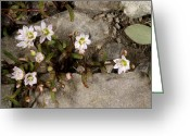 Crevice Greeting Cards - Alpine Lewisia (lewisia Pygmaea) Greeting Card by Bob Gibbons