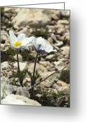 Pasque Flower Greeting Cards - Alpine Pasque Flower (pulsatilla Alpina) Greeting Card by Paul Harcourt Davies