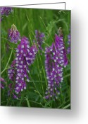 Robyn Stacey Photo Greeting Cards - Alpine Vetch 1 Greeting Card by Robyn Stacey