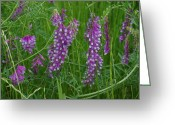 Robyn Stacey Photo Greeting Cards - Alpine Vetch 3 Greeting Card by Robyn Stacey