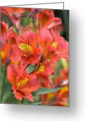 Princess Grace Greeting Cards - Alstroemeria princess Grace Greeting Card by Adrian Thomas