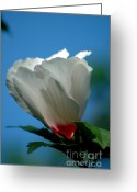 Althea Greeting Cards - Althea Flower Greeting Card by David Weeks