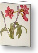 Red Drawings Greeting Cards - Amaryllis Brasiliensis Greeting Card by Pierre Redoute