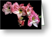 Flower Works Greeting Cards - Amaryllis Cluster. Greeting Card by Chris  Kusik