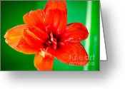 Petals Greeting Cards - AMARYLLIS CONTRAST orange amaryllis flower appearing to float above a deep green background Greeting Card by Andy Smy