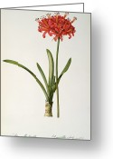 Spring-blooming Greeting Cards - Amaryllis Curvifolia Greeting Card by Pierre Redoute