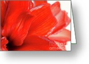 Flower Greeting Cards - AMARYLLIS FADE red amaryllis flower subtly fading into a white background Greeting Card by Andy Smy