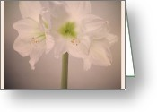 Stamen Greeting Cards - Amaryllis Flowers Greeting Card by Nathan Blaney