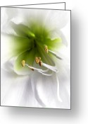 Anther Greeting Cards - Amaryllis  Greeting Card by Jane Rix