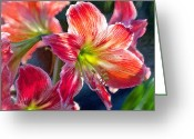 Flower Blossom Greeting Cards - Amaryllis Greeting Card by Jane Schnetlage