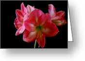 Flower Stamen Greeting Cards - Amaryllis Greeting Card by The Stone Age