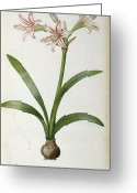 21st Greeting Cards - Amaryllis Vittata Greeting Card by Pierre Redoute