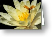 Water Gardens Greeting Cards - Amber Dragonfly Dancer Too Greeting Card by Sabrina L Ryan