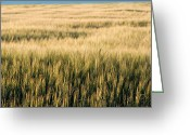 Idaho Artist Greeting Cards - Amber Waves of Grain Greeting Card by Cindy Singleton