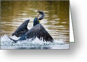 Phalacrocorax Auritus Greeting Cards - Ambitious Catch Greeting Card by Carl Jackson