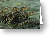 Animal Life Cycles Greeting Cards - American Alligator Alligator Greeting Card by Roy Toft