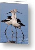 Seagull Photo Greeting Cards - American Avocet Ballet . 7D4855 Greeting Card by Wingsdomain Art and Photography