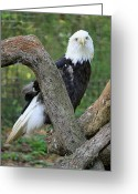 Rescue Animal Greeting Cards - American Bald Eagle II - Rescue Greeting Card by Suzanne Gaff