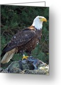 Brown Framed Prints Greeting Cards - American Bald Eagle Greeting Card by Kathy Eastmond