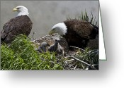 Four Animals Greeting Cards - American Bald Eagles, Haliaeetus Greeting Card by Roy Toft