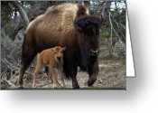 Bison Greeting Cards - American Bison And Calf Greeting Card by Rob Daugherty - RobsWildlife.com