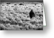 Horns Greeting Cards - American Bison in Black and White Greeting Card by Sebastian Musial
