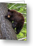 Black Bear Climbing Tree Greeting Cards - American Black Bear Greeting Card by Rob Daugherty - RobsWildlife.com
