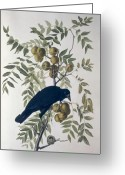 Crow Greeting Cards - American Crow Greeting Card by John James Audubon